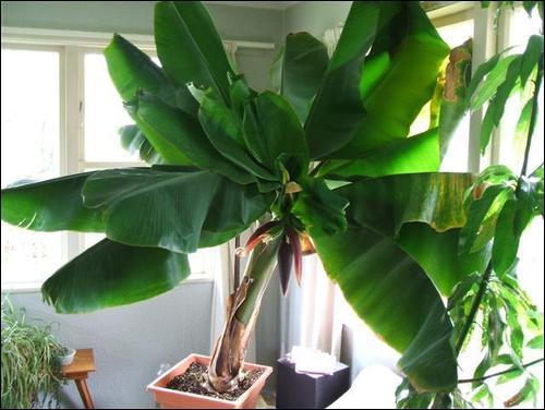 Banana indoors