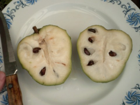 Cherimoya fruit grown from seed ready to be eaten